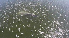 De luchtmening van de walvis van Bryde en vele vogels gaan jagend op het strand, de walvis van Eden in golf Thailand stock footage