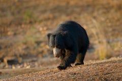 De luiaard draagt, Melursus-ursinus, het Nationale Park van Ranthambore, India De wilde Luiaard draagt aardhabitat, het wildfoto  stock afbeeldingen