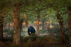 De luiaard draagt, Melursus-ursinus, het Nationale Park van Ranthambore, India De wilde Luiaard draagt aardhabitat, het wildfoto  royalty-vrije stock fotografie