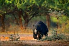 De luiaard draagt, Melursus-ursinus, het Nationale Park van Ranthambore, India De wilde Luiaard draagt aardhabitat, het wildfoto  royalty-vrije stock afbeeldingen