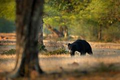 De luiaard draagt, Melursus-ursinus, het Nationale Park van Ranthambore, India De wilde Luiaard draagt aardhabitat, het wildfoto  royalty-vrije stock foto