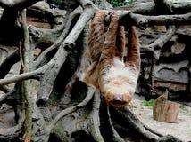De luiaard slingert stock afbeelding
