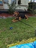 De luie Dagen van de Hond stock foto