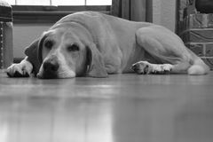 De luie Hond van de Hond Stock Foto