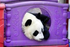 De luie reuzepanda verbergt in het stuk speelgoed huis Stock Afbeeldingen