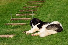 De luie slaap van de herdershond in de werf Stock Afbeeldingen
