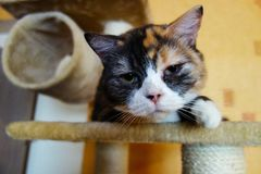 De luie slaap van de Purebreedkat op het speelplaats stock afbeelding
