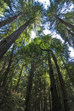 De Luifel van de Californische sequoia in hout Muir Stock Fotografie