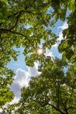 De luifel van lange bomen die een duidelijke blauwe hemel ontwerpen Royalty-vrije Stock Afbeeldingen