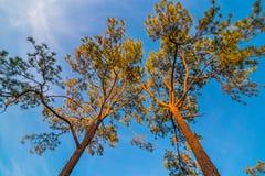 De luifel van lange bomen die een duidelijke blauwe hemel ontwerpen Royalty-vrije Stock Foto's