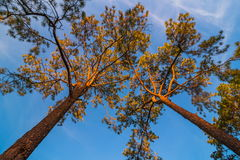 De luifel van lange bomen die een duidelijke blauwe hemel ontwerpen Stock Afbeelding