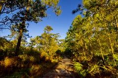 De luifel van lange bomen die een duidelijke blauwe hemel ontwerpen Stock Fotografie