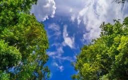 De luifel van lange bomen die een duidelijke blauwe hemel ontwerpen Royalty-vrije Stock Fotografie