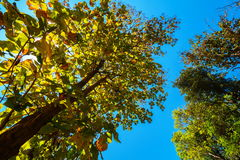 De luifel van lange bomen die een duidelijke blauwe hemel ontwerpen Stock Afbeeldingen
