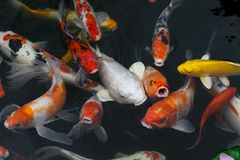 de luim van de vissenkarper/koi in een vijver, Japans Nationaal dier stock afbeelding