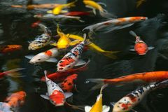 de luim van de vissenkarper, koi in vijver, Japans Nationaal dier stock foto
