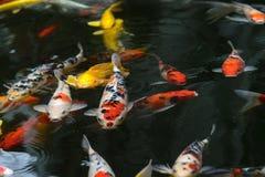 de luim van de vissenkarper, koi in vijver, Japans Nationaal dier stock fotografie