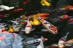 de luim van de vissenkarper, koi in vijver, Japans Nationaal dier royalty-vrije stock foto's