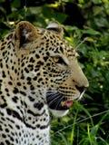 De luipaard altijd kijkt mooi van alle wilde stakingen royalty-vrije stock fotografie