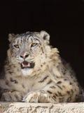 De luipaard Amur stock afbeeldingen
