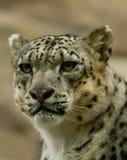 De Luipaard die van de sneeuw vastbesloten staart royalty-vrije stock afbeelding