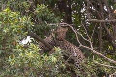 De luipaard het wachten prooi stock afbeelding