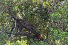 De luipaard het wachten prooi op de boom Masai Mara, Kenia royalty-vrije stock afbeeldingen