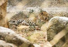 De luipaard improsoned achter een Dierentuinkooi Royalty-vrije Stock Foto's