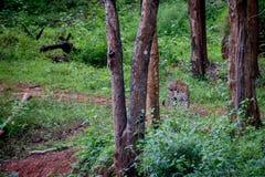 De luipaard op snuffelt in regenwoud rond Stock Afbeeldingen