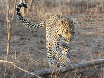 De luipaard op snuffelt rond Royalty-vrije Stock Afbeeldingen
