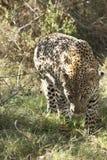 De luipaard op snuffelt rond Stock Fotografie