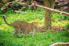 De luipaard (Panthera-pardus) loopt op het groene gras in g Stock Foto