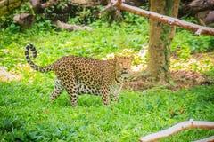 De luipaard (Panthera-pardus) loopt op het groene gras in g Royalty-vrije Stock Afbeelding