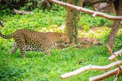 De luipaard (Panthera-pardus) loopt op het groene gras in g Stock Fotografie