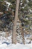 De luipaard van Amur Royalty-vrije Stock Foto