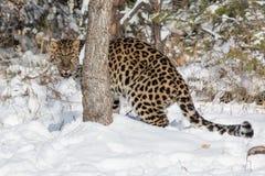 De luipaard van Amur Stock Foto