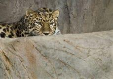 De luipaard van Amur Stock Afbeelding