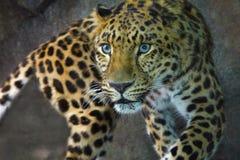 De Luipaard van Amur Royalty-vrije Stock Foto's