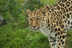 De luipaard van Amur Royalty-vrije Stock Fotografie