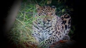 De luipaard van Amur stock footage