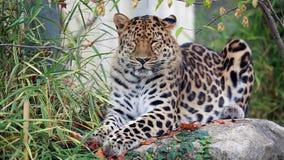 De luipaard van Amur stock video