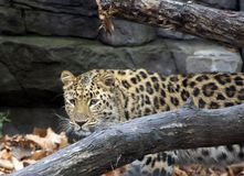 De luipaard van Amur Wild Dier stock afbeeldingen