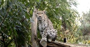 De luipaard van Ceylon Sri Lankan, Panthera-parduskotiya stock videobeelden