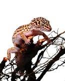 De luipaard van de gekko Stock Fotografie