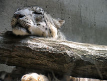 De Luipaard van de slaap Royalty-vrije Stock Foto