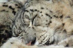 De Luipaard van de slaapsneeuw Royalty-vrije Stock Foto's