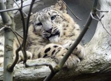 De luipaard van de sneeuw Stock Fotografie