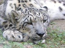 De Luipaard van de sneeuw Royalty-vrije Stock Afbeeldingen