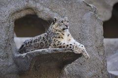 De luipaard van de sneeuw stock afbeelding