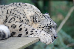 De luipaard van de sneeuw het rusten stock foto